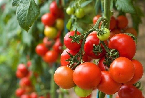 cà chua có tác dụng rất tuyệt vời với cơ thể