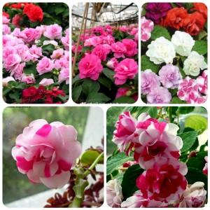 Hạt giống hoa Mai Địa Thảo