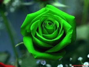 Hạt giống hoa hồng xanh lá