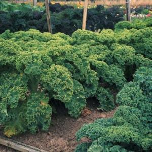 Hạt giống cải xoăn kale