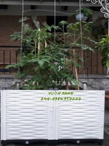 Chậu nhựa trồng cây ăn quả