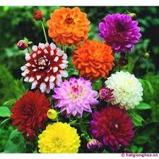 Hạt giống hoa thược dược nhiều màu