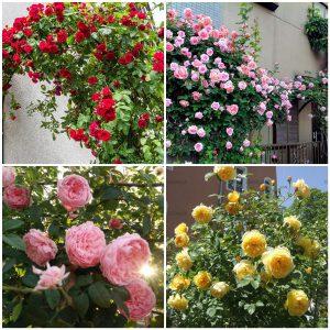 Hạt giống hoa hồng leo Pháp Mix màu