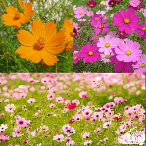 Hạt giống hoa sao nhái ( sao nháy hay cánh bướm )