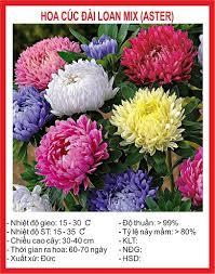 Hạt giống hoa cúc Đài Loan mix