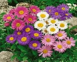 Hạt giống hoa thạch thảo cao mix