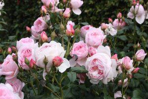 Hạt giống hoa hồng thơm