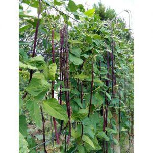 Hạt giống đậu đũa đỏ siêu dài Thái lan