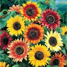 Hạt giống hoa hướng dương Mix màu