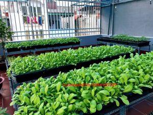 Giàn trồng rau bậc thang chậu màu đen ( 68x43x16 cm )